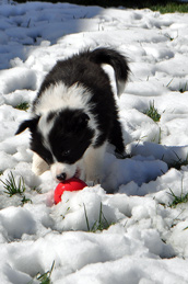 Blue with a toy in the snow