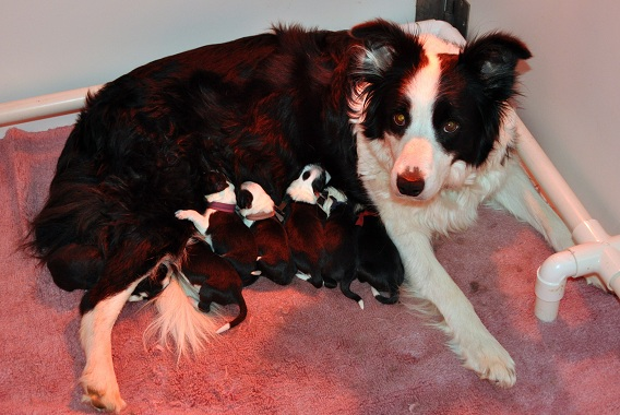 Clodagh and pups on the first morning
