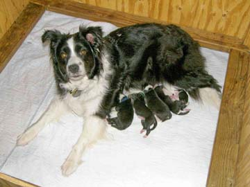 Tegan and her litter on day 1
