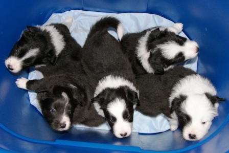 Barrel of Pups at 3 weeks